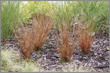 Carex buchananii 'Red Rooster' (turzyca)